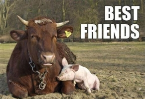 cow-and-pig-best-friends-forever